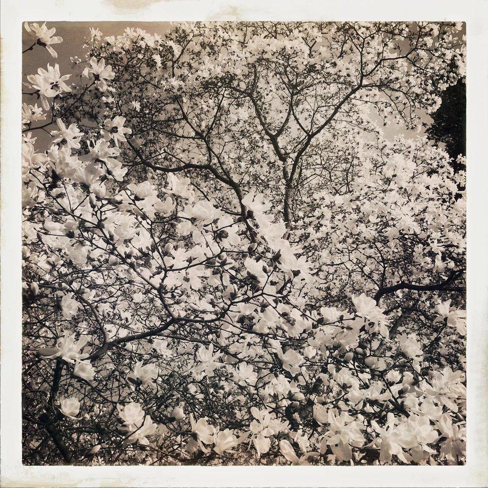 Magnolia1_2017-11-7
