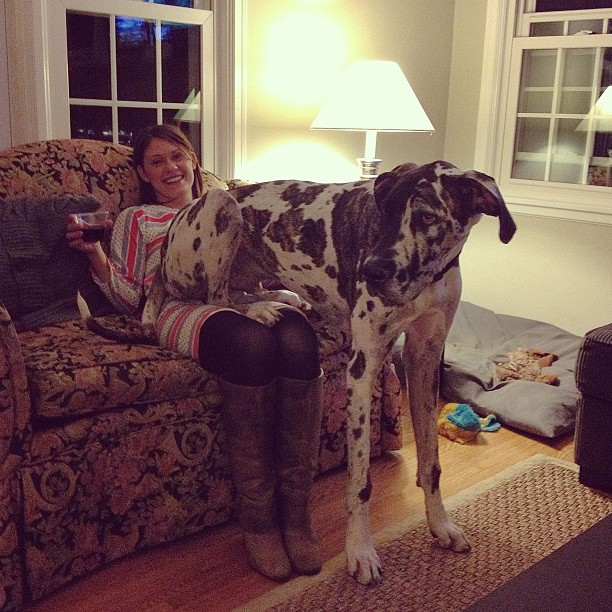 Summit thinks he's a lap dog #greatdane #gentlegiant