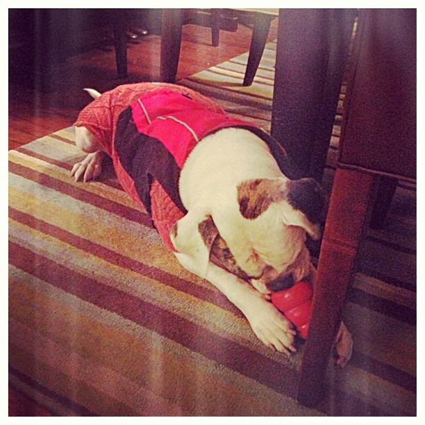 So cold poor girl is wearing her sweater AND jacket! #bully #bulldog #dogsofinstagram #dailybrooklyn #tundra #mnwinter