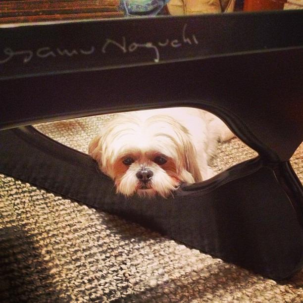 Max has good taste #noguchi #shi-poo #dogsofinstagram