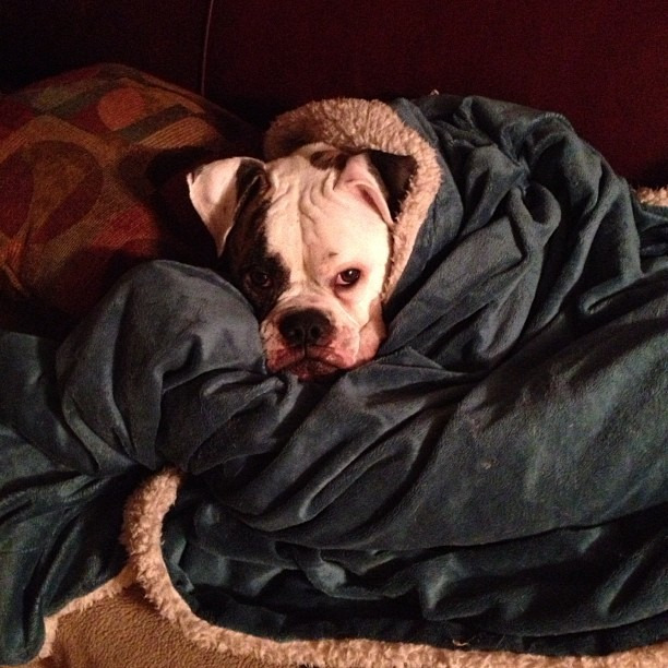 Time for bed #bulldog #bullylove #dogsofinstagram  #snuggle