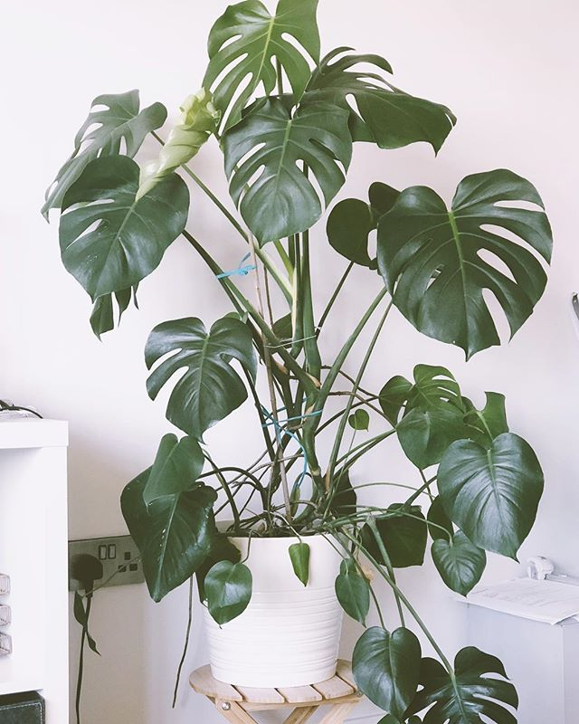 Anyone got any tips on how to tame a monstera?😂🌱 she's becoming a beast!, hard to believe I bought her as a tiny plant for £10 🌿 [[ #plantlove #plantstagram #houseplantsofinstagram #plantsmakemehappy #houseplantclub #plantgang #indoorjungle #livingwithplants #plantparenthood #ihavethisthingwithplants #houseplantcommunity #plantscout #monstera #monsteradeliciosa ]] 🌿🌱