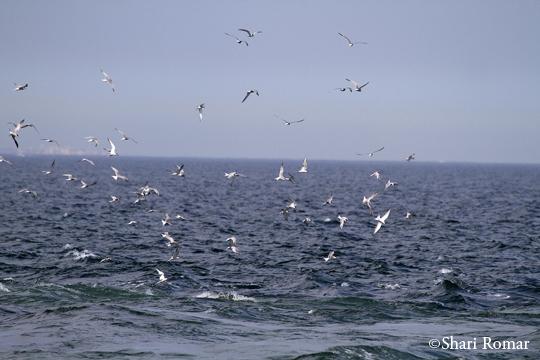 Terns feeding off Breezy Point