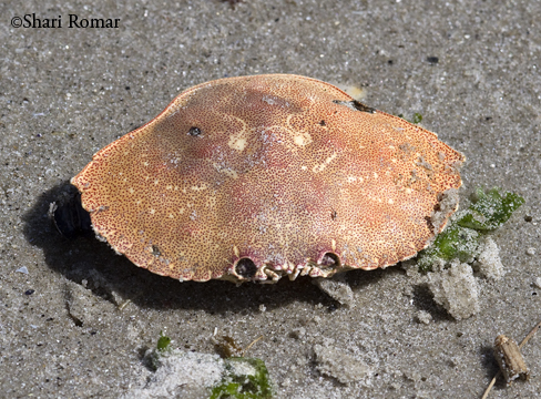 Atlantic Rock Crab carapace