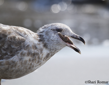 Juvenile Herring Gull with Atlantic Starfish