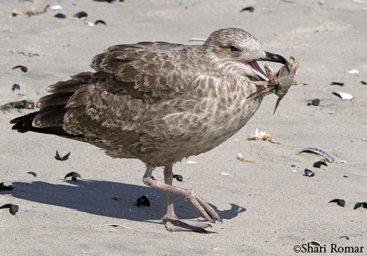 Juvenile Herring Gull with Atlantic Rock Crab