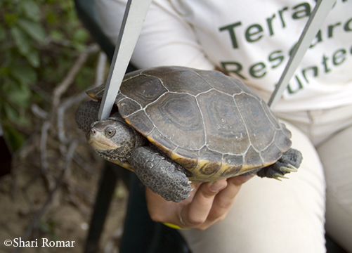 Female Diamondback Terrapin