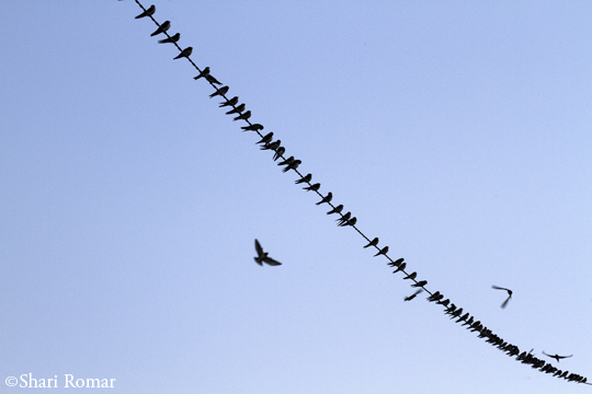 Bank and Cliff Swallows