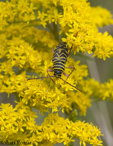 Locust Borer on Goldenrod
