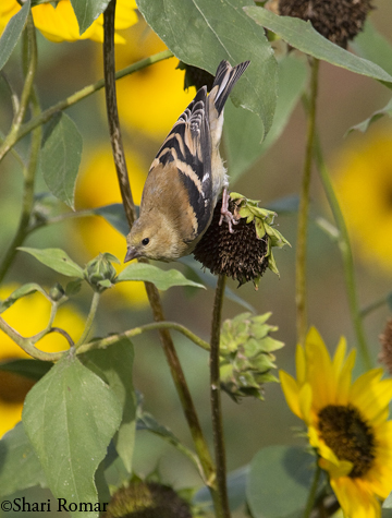 American Goldfinch on Sunflowers