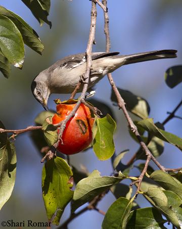 Northern Mockingbird on Persimmon
