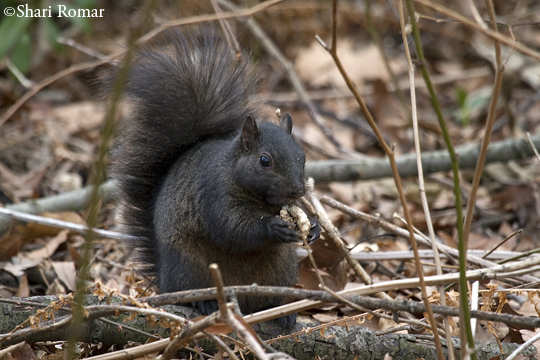 Eastern Gray Squirrel (black morph)