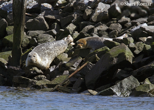 Harbor Seal mother with pup