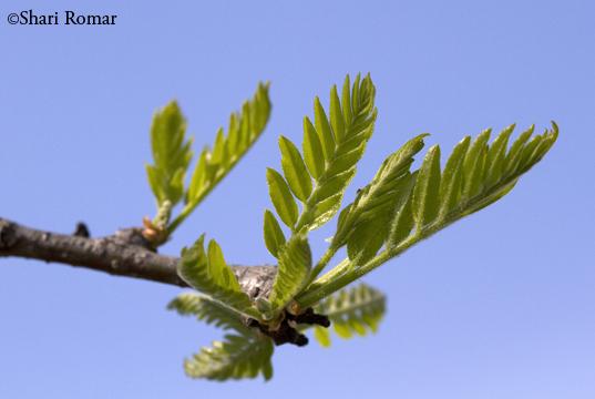 Emerging leaves