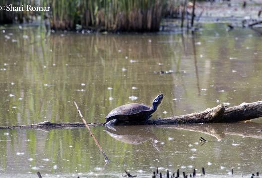Turtle in Willow Lake, Flushing Meadows-Corona Park