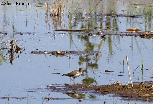 Sandpiper at Willow Lake, Flushing Meadows-Corona Park