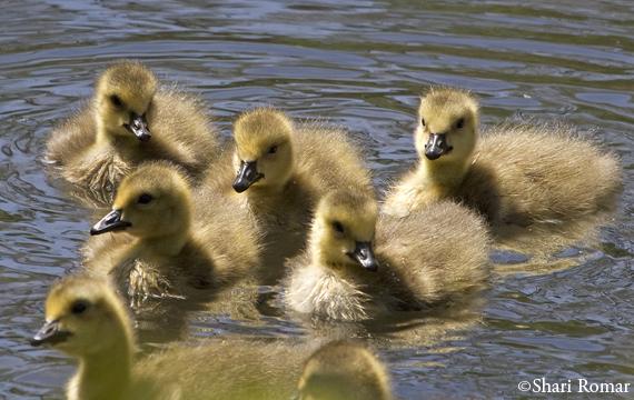Canada Goose goslings in Willow Lake, Flushing Meadows-Corona Park