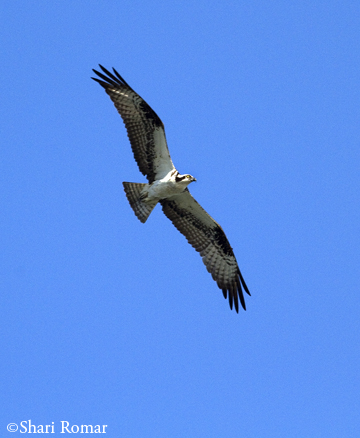 Osprey at the Chesapeake Bay