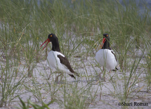 American Oystercatchers, Arverne Piping Plover Nesting Area