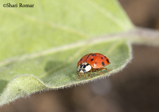 Lady Beetle, adult