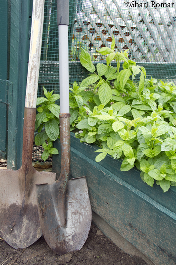 Shovel and raised bed with mint