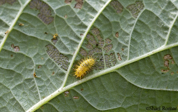 Mexican Bean Beetle, larva