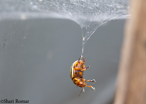 Colorado Potato Beetle adult in spider web