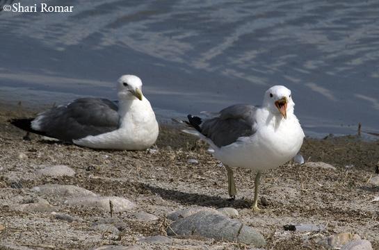 California Gulls - Antelope Island State Park, Utah
