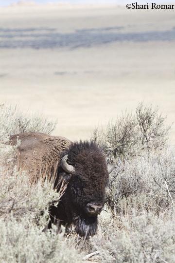 American Bison - Antelope Island State Park, Utah