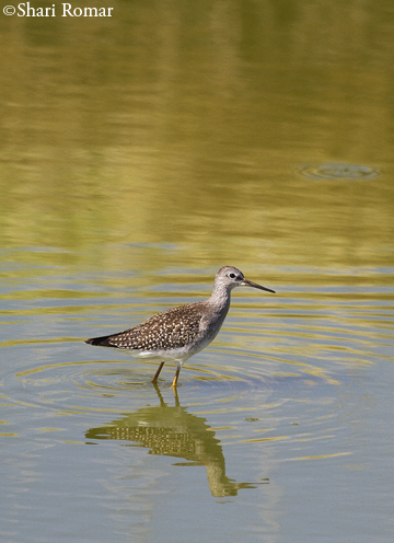 Yellowlegs - Bear River National Wildlife Refuge, Utah