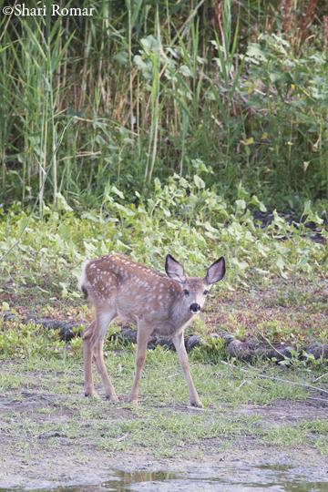 White-tailed Deer - Bear River National Wildlife Refuge, Utah