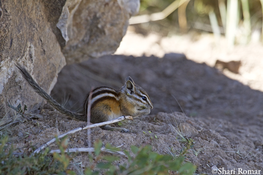 Least Chipmunk - Park City area, Utah