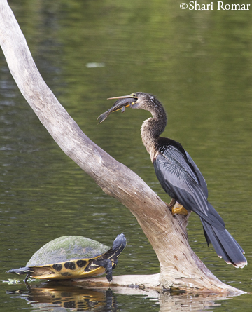 Anhinga with fish and turtle