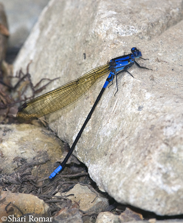 Damselfly - Costa Rica