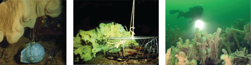 Examples of common things that cause damage to glass sponge gardens: fishing cannonball, prawn trap, scuba diver.