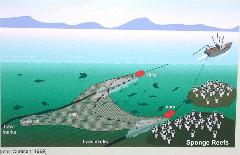 Bottom trawling is an indiscriminate method of fishing that damages and destroys structurally complex habitats. Bottom trawls are a type of mobile fishing gear consisting of very large nets that are dragged on the seafloor to catch ground fish and other species. The attachment of large, heavy roller and rockhopper gear to bottom trawl nets, in combination with more powerful fishing boats and other technical innovations are far more damaging that what was used before the 1980's.
