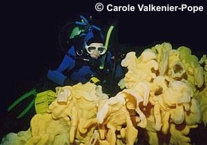 Cloud Sponge on Senanus Reef in Saanich Inlet which measured 3.4 meters long by 1.1 meters high by 0.5 meters wide.