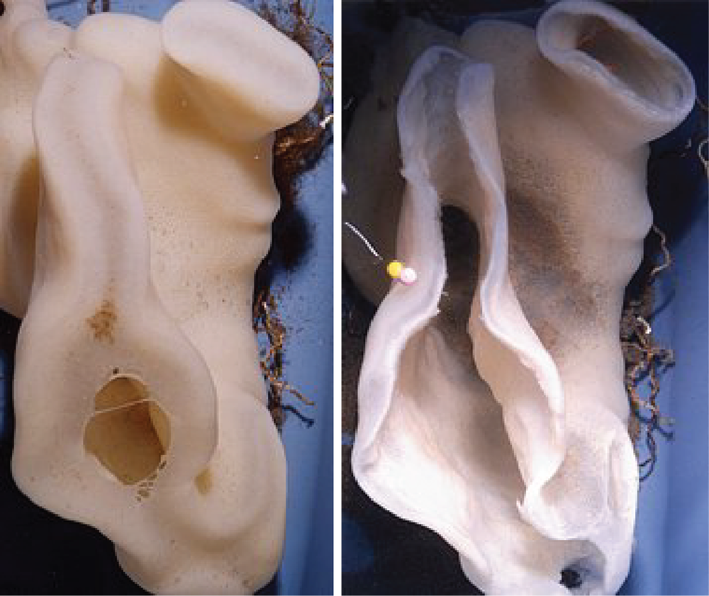 Photographs of the same sponge alive on the left and after death on the right.   The open areas on the dead sponge are those which were covered by soft tissue without a fused skeleton. The widest area surrounded the osculum or exhaust opening.