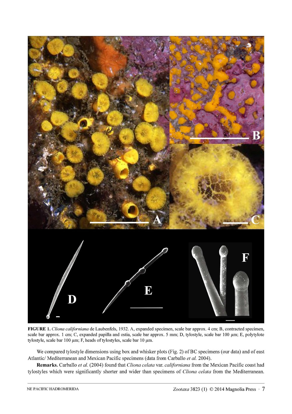 Austin et al 2014 NE Pacific Hadromerids_Page_07.jpg