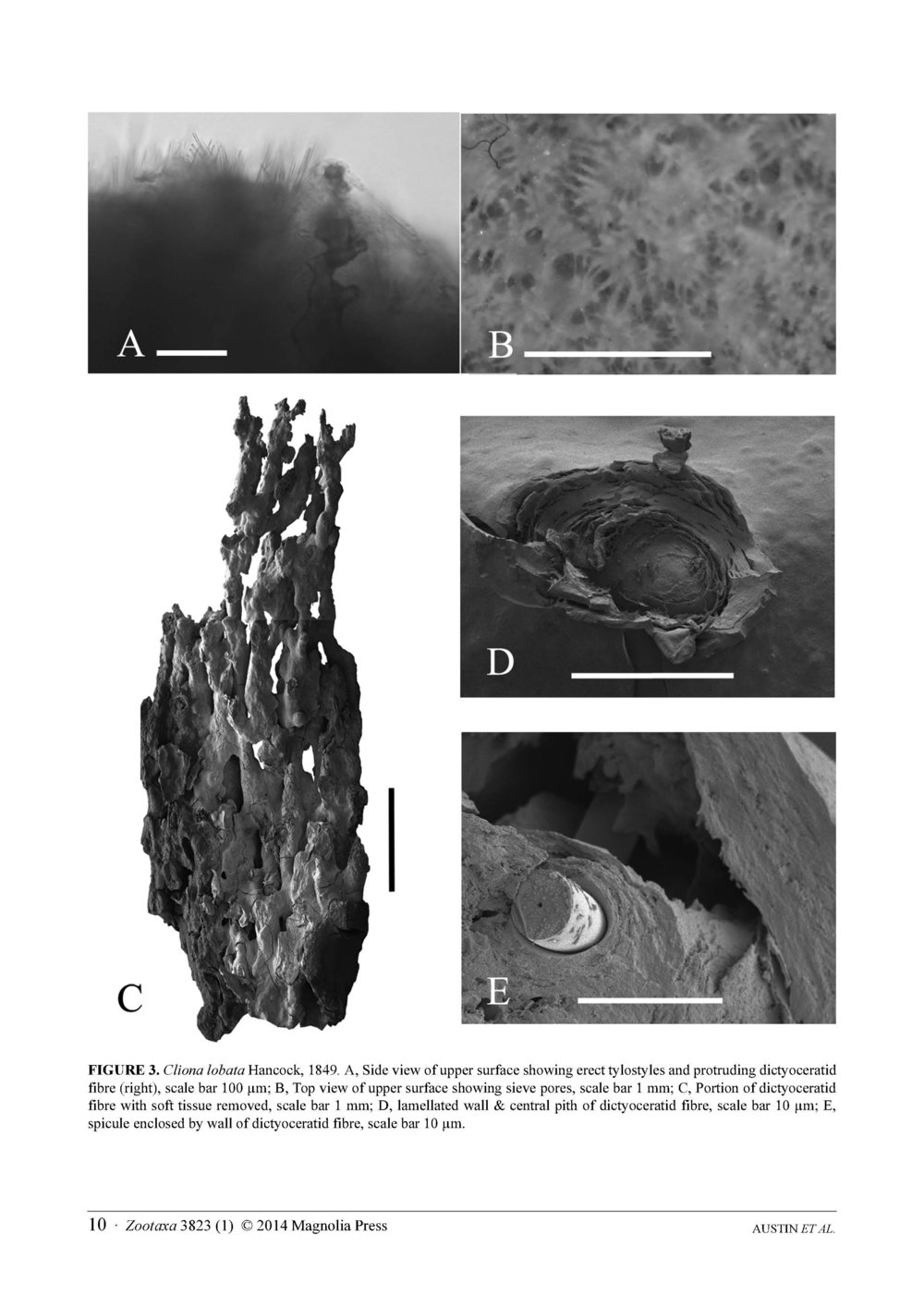 Austin et al 2014 NE Pacific Hadromerids_Page_10.jpg