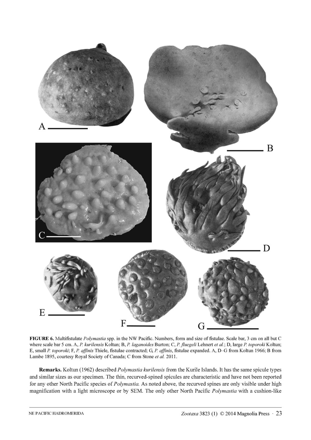 Austin et al 2014 NE Pacific Hadromerids_Page_23.jpg