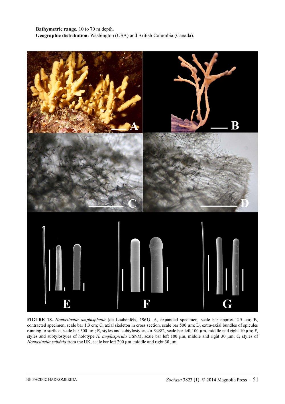 Austin et al 2014 NE Pacific Hadromerids_Page_51.jpg