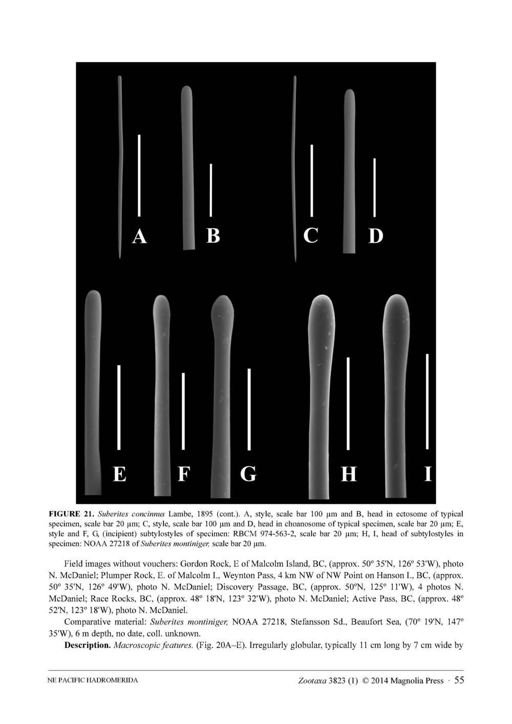 Austin et al 2014 NE Pacific Hadromerids_Page_55.jpg