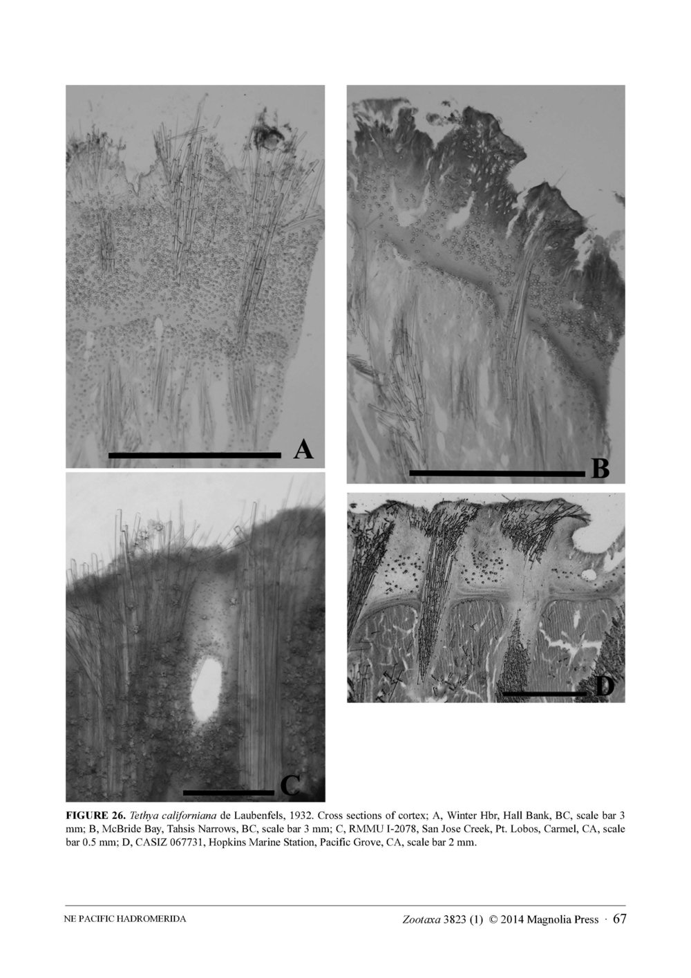 Austin et al 2014 NE Pacific Hadromerids_Page_67.jpg