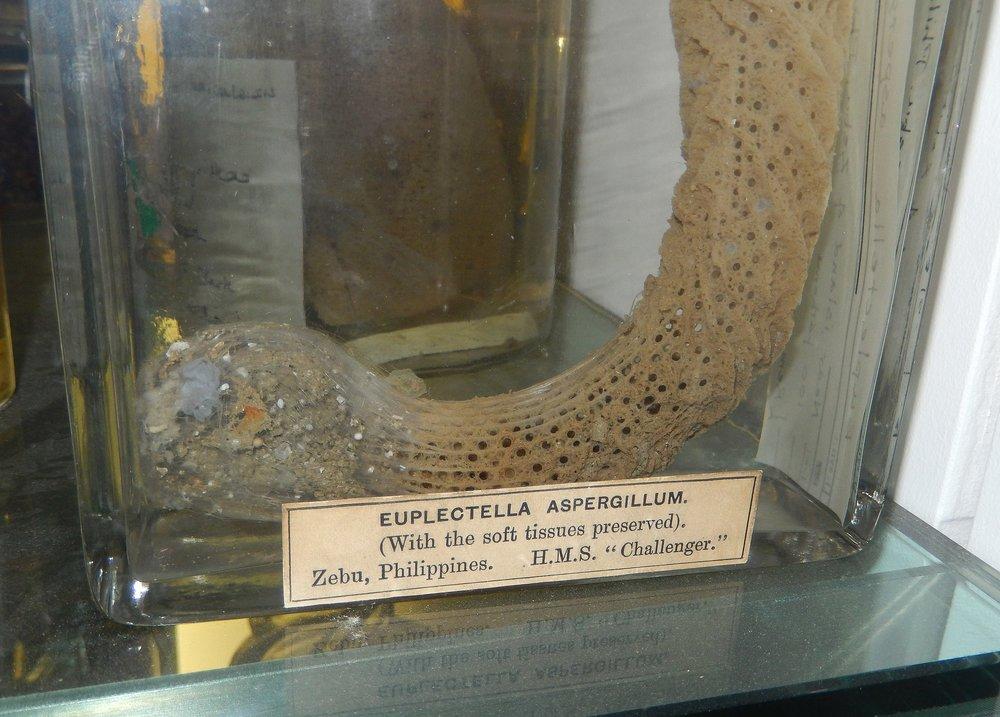 2880px-Euplectella_aspergillum_HMS_Challenger_specimen.JPG