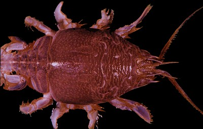 Emerita analoga     (Mole crab)    Description:  Example of accidental or casual occurrences; periodically appears on outer coast beaches then dies out