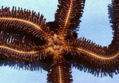 Ophiopteris papillosa     (Brown spiny brittle star)    Description:  Possible disjunct distribution. Occurs in Barkley Sound, SW region of Vancouver Island but otherwise recorded from central California south plus possible record in southern Oregon.