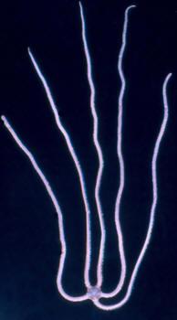 Amphiodia periacta