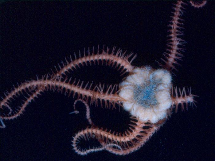 Ophiacantha bathybia
