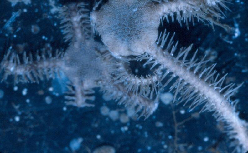 Ophiacantha rhacophora